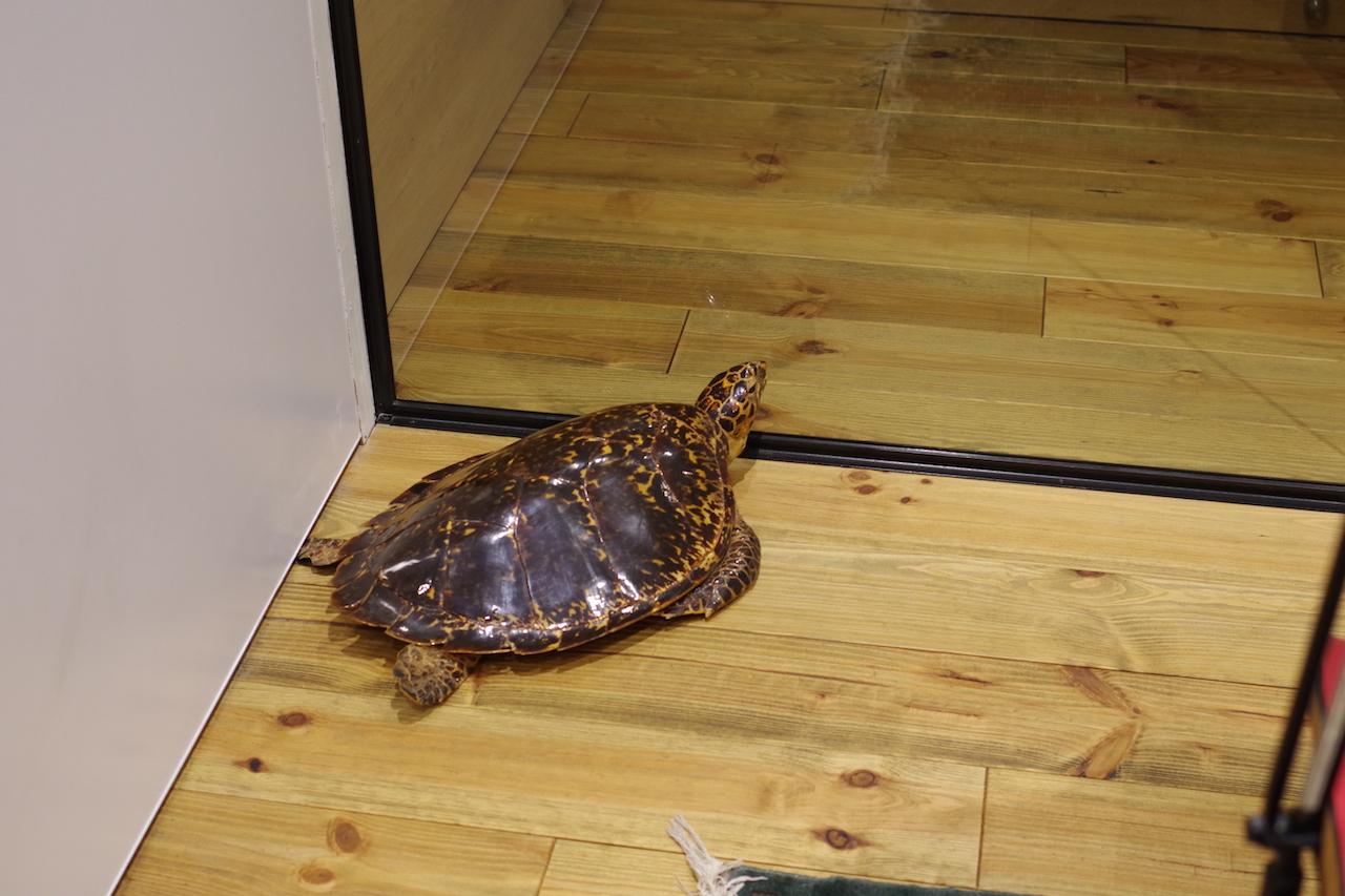 会議室の謎の亀